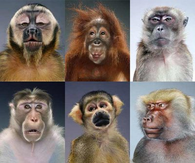 Monkey-portraits-apes-jill-greenberg