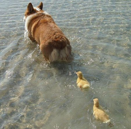 Daddy-corgi-ducks